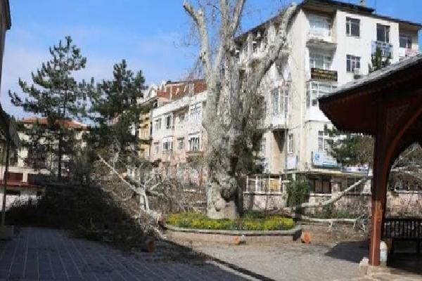 447 yıllık çınar ağacının dalları koruma amaçlı budandı