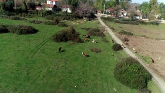 Samsun'da meralarda hayvan otlatma sezonu açıldı