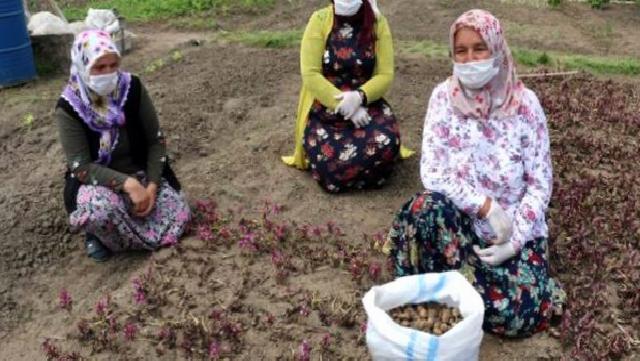 Yaş hali 60 lira olan ancak işlenmiş toz hali 1.000 liraya kadar çıkan salepte hasat sürüyor