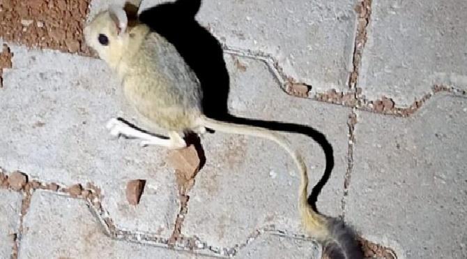 Olağanüstü sıçrayabiliyor: Kanguru faresini görenler hayrete düştü