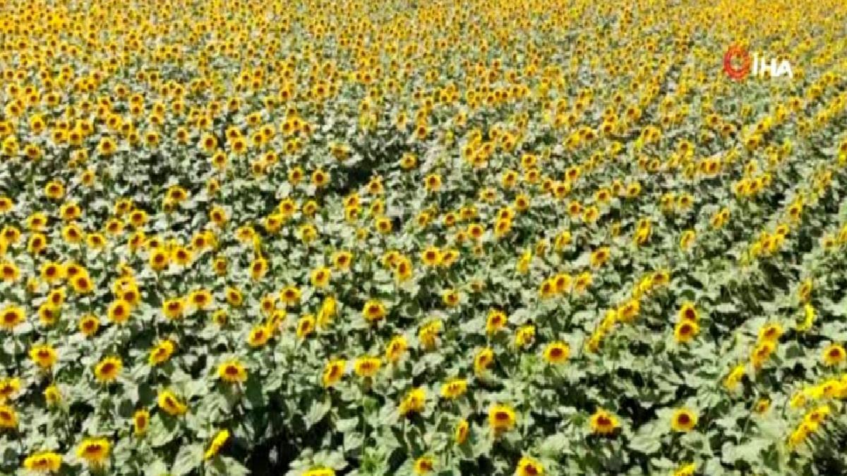 Son dakika… Ayçiçeği tarlalarından kartpostallık görüntüler