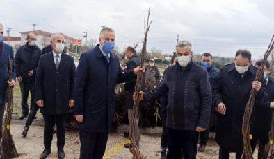 Bafra'da üreticilere 2 bin 500 ceviz fidanı dağıtıldı