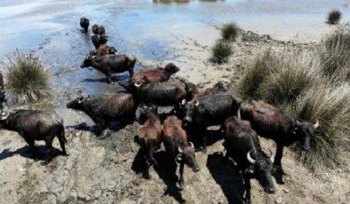 Samsun manda popülasyonunda Türkiye'de zirvede yer alıyor
